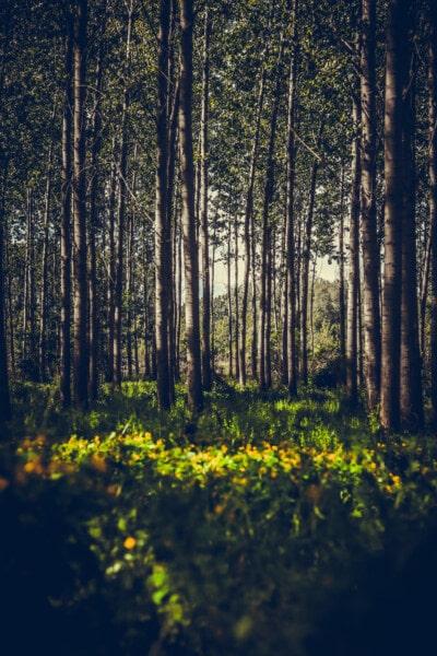 bayangan, poplar, hutan, semak, Fajar, kayu, daun, pohon, pemandangan, alam