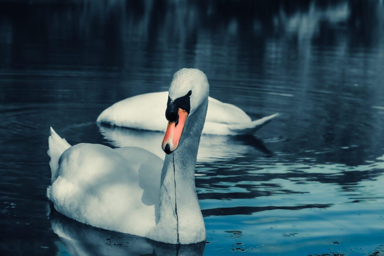 лебедь, молодые, природа, плавание, вода, птица, отражение, озеро, чистота, зима