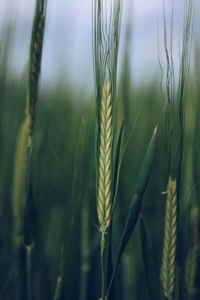 cereal, field, agriculture, close-up, rye, grass, wheat, crop, sun, bread
