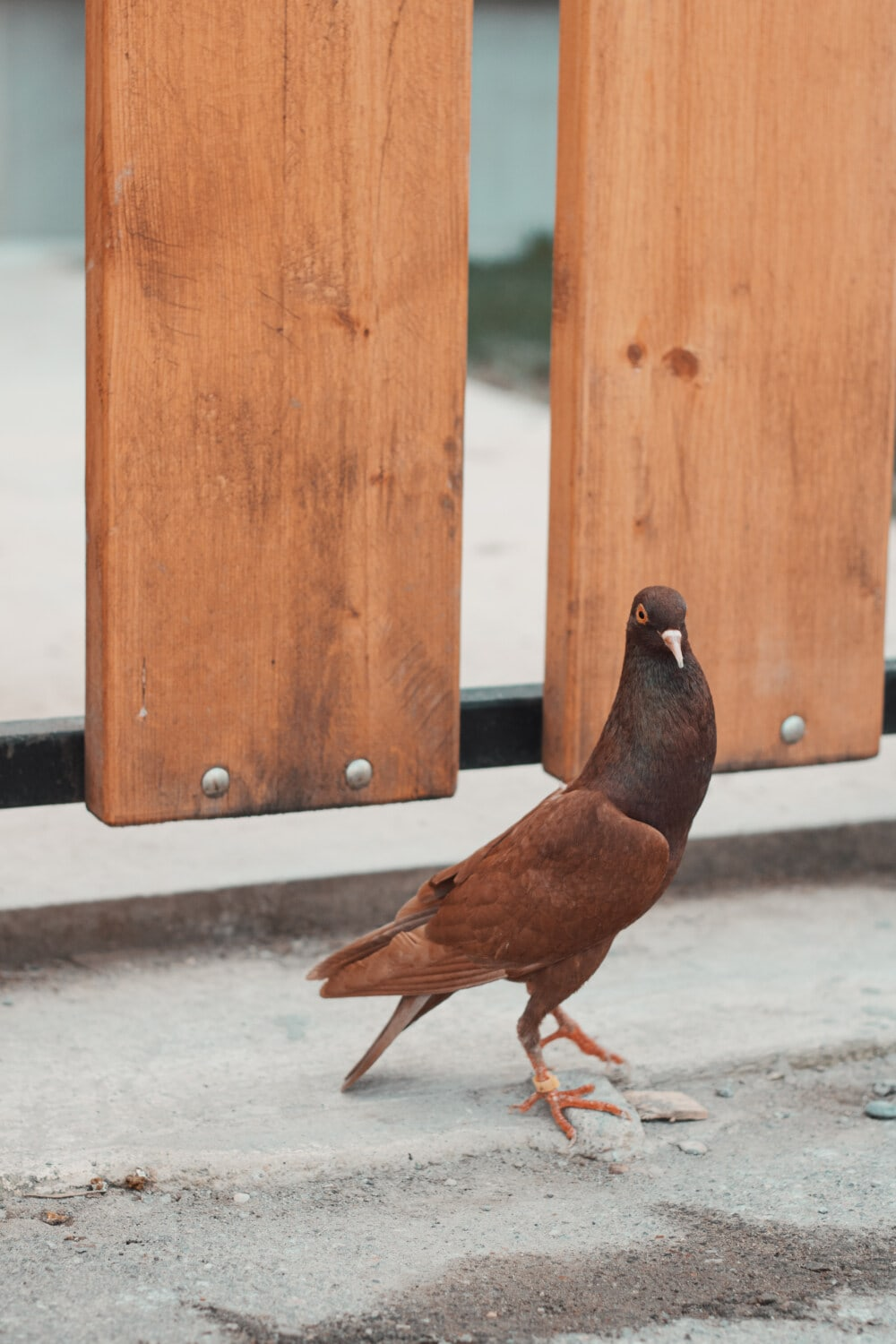 pigeon, light brown, tall, standing, bird, animal, wood, nature, wildlife, outdoors