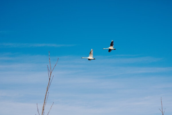 flying, swan, flyover, blue sky, wing, flight, bird, air, nature, outdoors