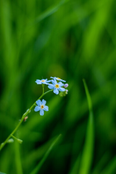 wildflower, green grass, blue, nature, spring, leaf, blossom, herb, plant, grass