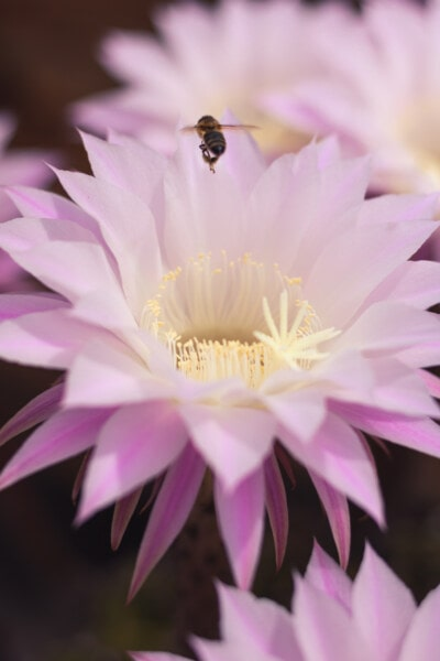 insekt, honningbien, kaktus, blomst, lyserød, helt tæt, pollen, støvvejen, plante, flora