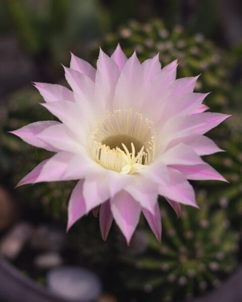 flower, pinkish, cactus, pistil, exotic, close-up, petals, nature, garden, plant