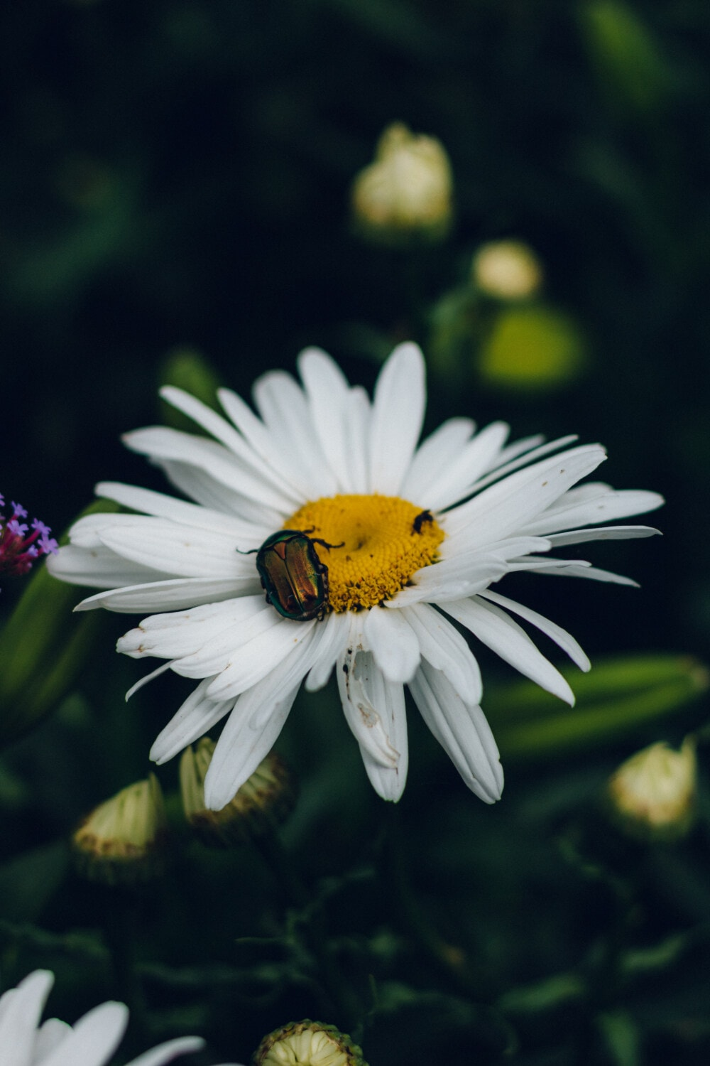 beetle, insect, green, white flower, daisy, close-up, blossom, flower, spring, plant