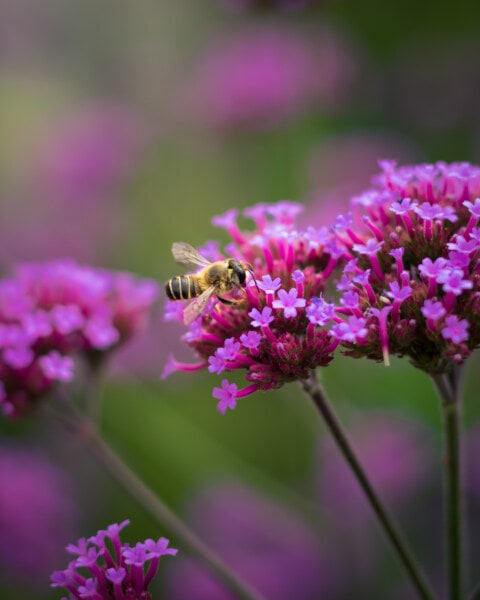 pollinating, honeybee, wildflower, pinkish, blossom, flower, nature, flora, garden, herb