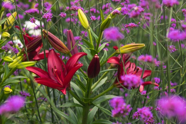 red, petals, wildflower, lily, grass, flowers, flower, flora, bright, summer