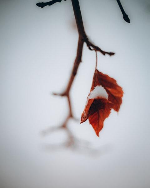 hópelyhek, száraz, levél, hó, ágak, téli, juhar, természet, fa, fa