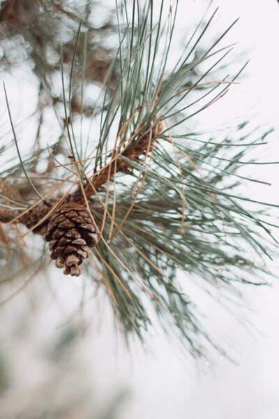 branches, conifer, pine, nature, plant, tree, branch, evergreen, outdoors, wood