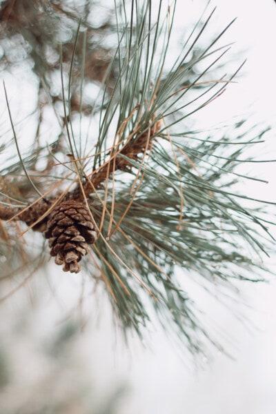pobočky, jehličnatý, borovice, příroda, závod, strom, větev, stále zelený, venku, dřevo
