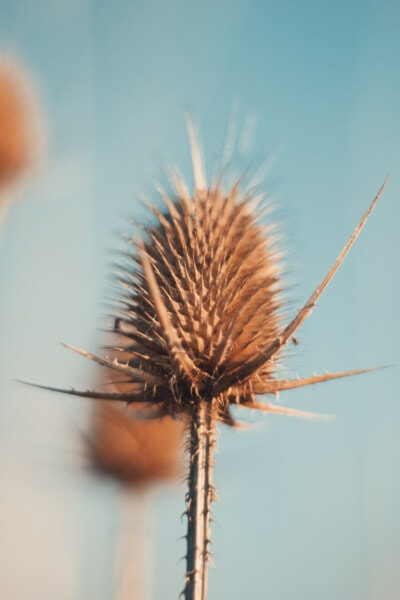 kruid, droog, bloem, plant, natuur, scherp, zomer, buitenshuis, onkruid, mooi weer