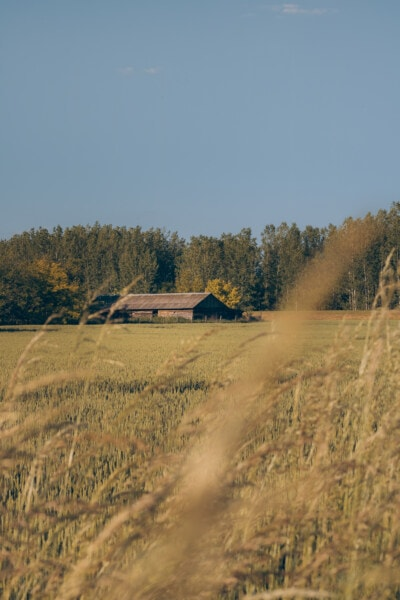 farmhouse, farmland, field, agriculture, landscape, barn, farm, rural, wheat, nature