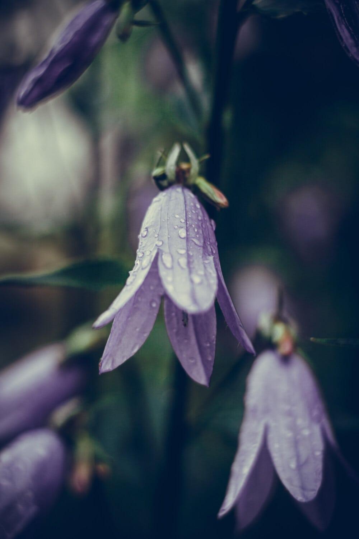 Tau, Wassertropfen, Regen, Regentropfen, Wildblumen, Blumen, lila, Blume, Anlage, Kraut