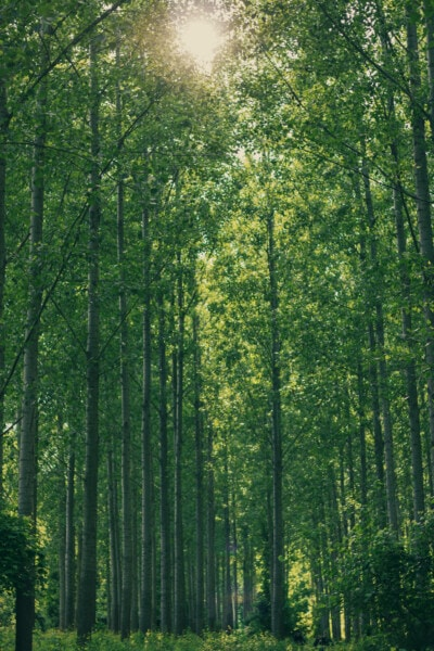 green grass, poplar, greenery, spring time, forest, tree, dawn, wood, landscape, leaf