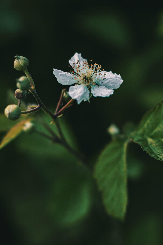 pistil, Marul, flori albe, timp de primăvară, polen, până aproape, frunze, gradina, arbust, copac