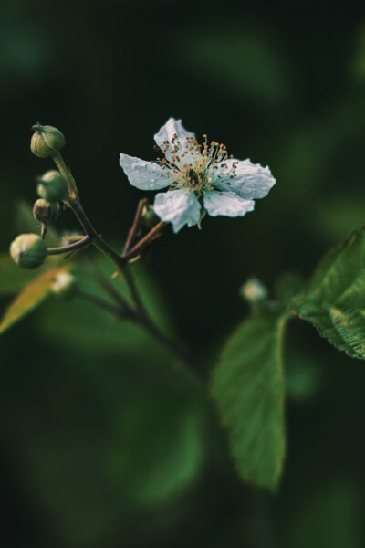 słupek, Jabłoń, biały kwiat, wiosna, pyłek, zbliżenie, liść, ogród, krzew, drzewo