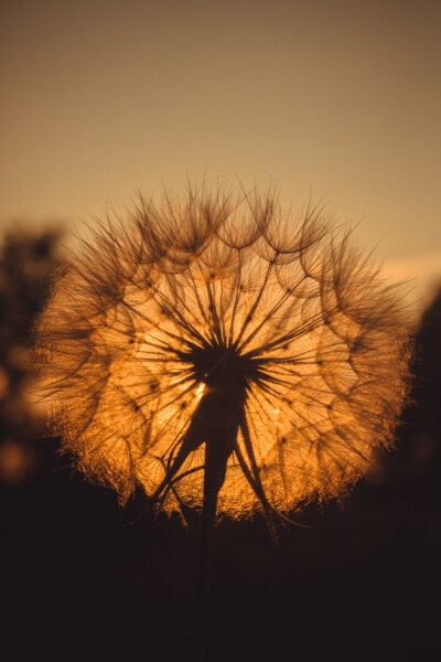 majestic, close-up, dandelion, sunset, plant, herb, summer, sun, nature, dawn