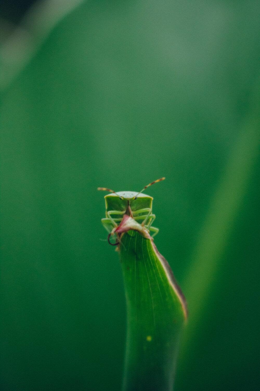 feuille verte, vert, Beetle, animal, insecte, plante, arthropode, feuille, jardin, nature