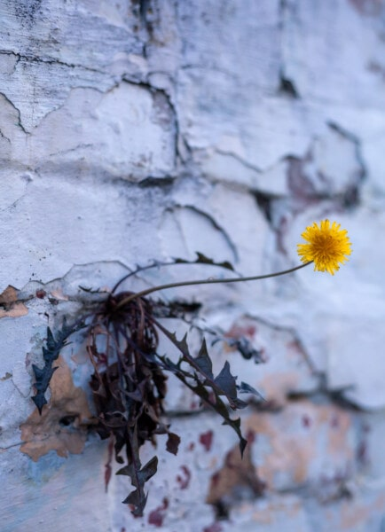 yellowish, dandelion, flowers, survival, wall, tree, nature, plant, flora, leaf