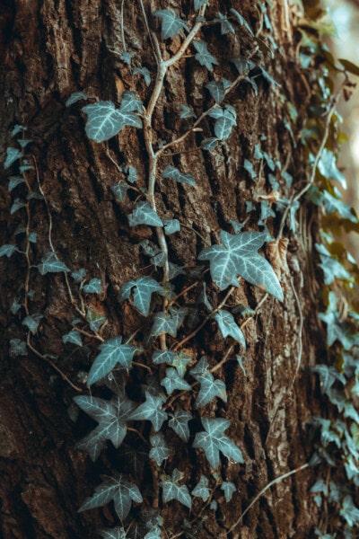 Efeu, Borke, Struktur, Geäst, grüne Blätter, Blatt, Textur, Natur, Holz, dreckig