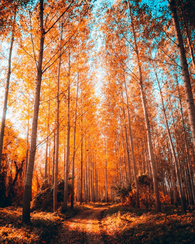 forest, forest path, autumn, trees, leaf, wood, tree, dawn, birch, landscape