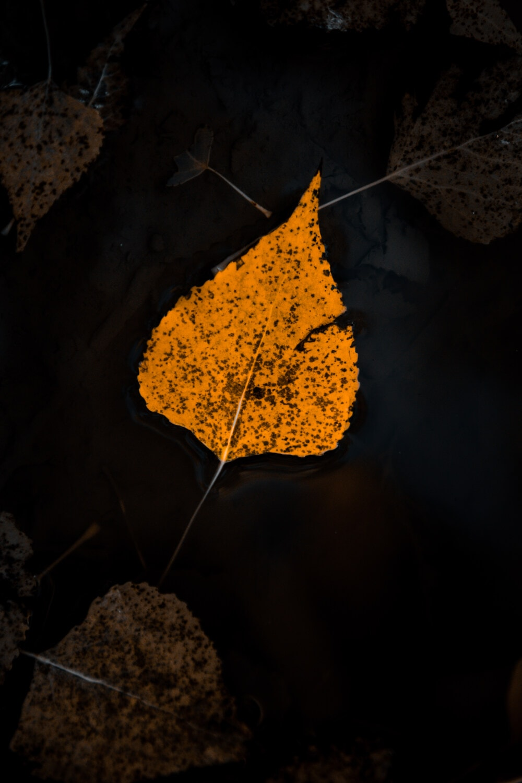 orange yellow, dry, leaf, floating, water, darkness, shadow, herb, nature, dark