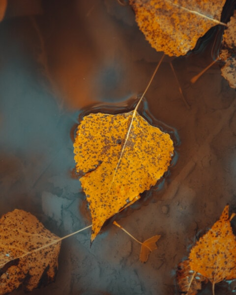 dry, leaves, floating, water, mud, herb, tree, leaf, autumn, plant