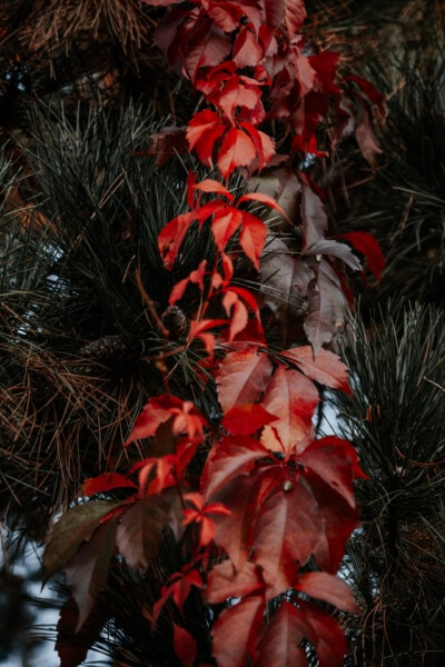 pobočky, jehličnanů, listy, červená, bylina, strom, list, keř, závod, barva