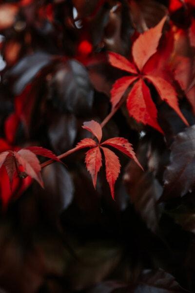 pobočky, načervenalé, keř, listy, list, závod, příroda, venku, rozostření, tmavý