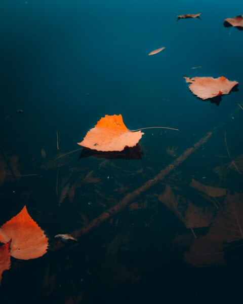 leaves, floating, fresh water, water, river, autumn, nature, aquatic, underwater, lake