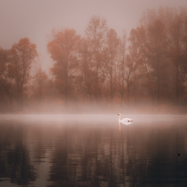 foggy, lake, swan, autumn season, swimming, dawn, tree, mist, fog, water