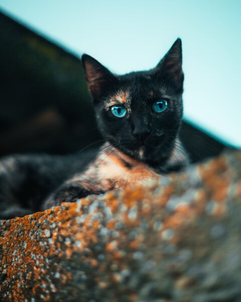 cat, fur, domestic cat, eyes, cute, animal, eye, feline, pet, kitten