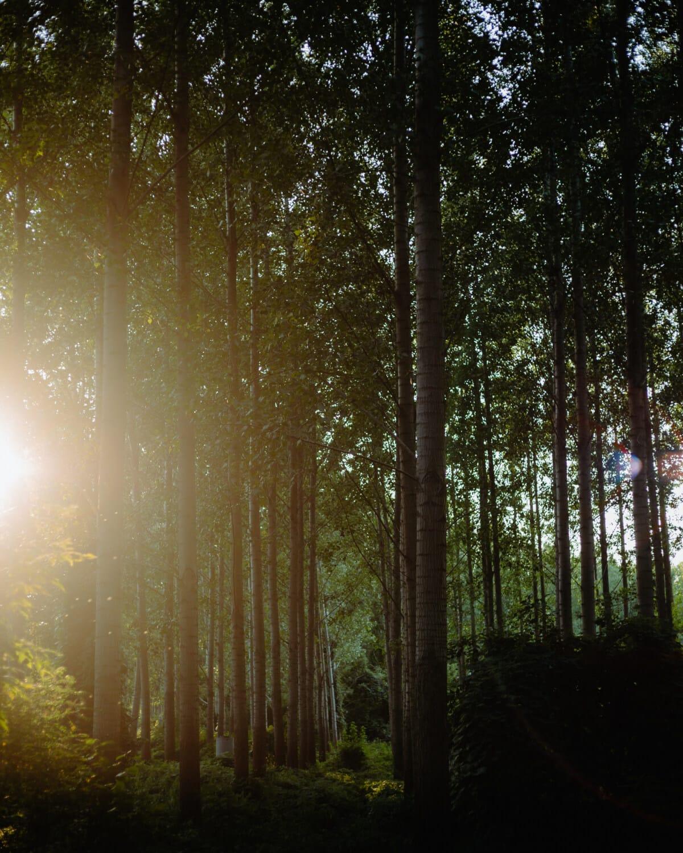 rayons de soleil, ensoleillée, forêt, rétro-éclairé, soleil, paysage, arbre, bois, éclairage, beau temps
