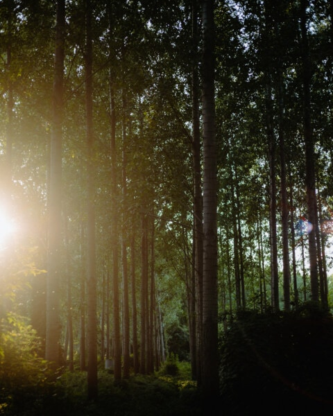 sunrays, sunny, forest, backlight, sun, landscape, tree, wood, lighting, fair weather