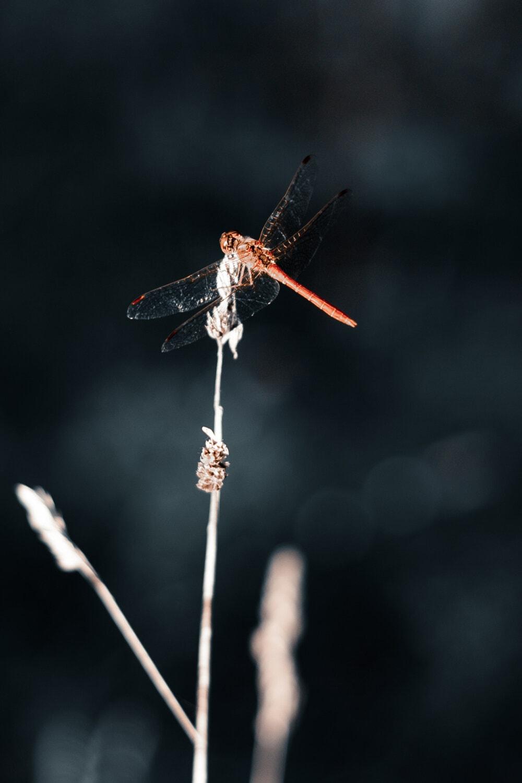 libellule, ailes, rouge, fermer, chrysope, insecte, arthropode, nature, à l'extérieur, faune