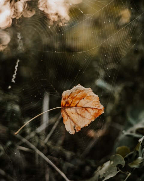dry, spiderweb, leaf, cobweb, nature, spider web, trap, flora, wildlife, beautiful