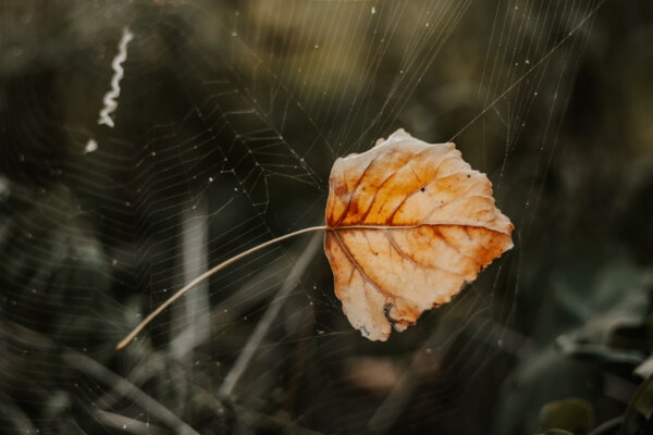 dry, spiderweb, leaf, trap, spider web, dew, cobweb, arachnid, color, web