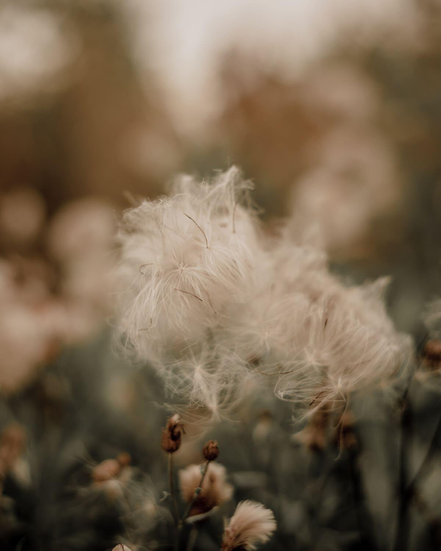 Trockenzeit, Unkraut, Wollgras, Natur, Blume, Gras, Blatt, Sommer, Flora, verwischen