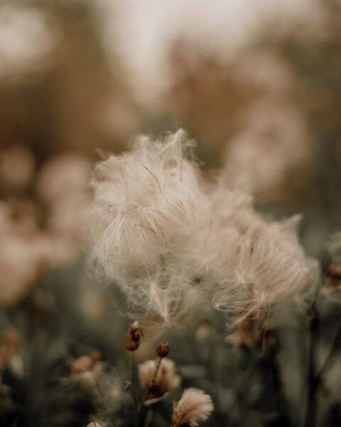 pora sucha, chwastów, Wełnianka, natura, kwiat, trawa, liść, latem, flora, rozmycie