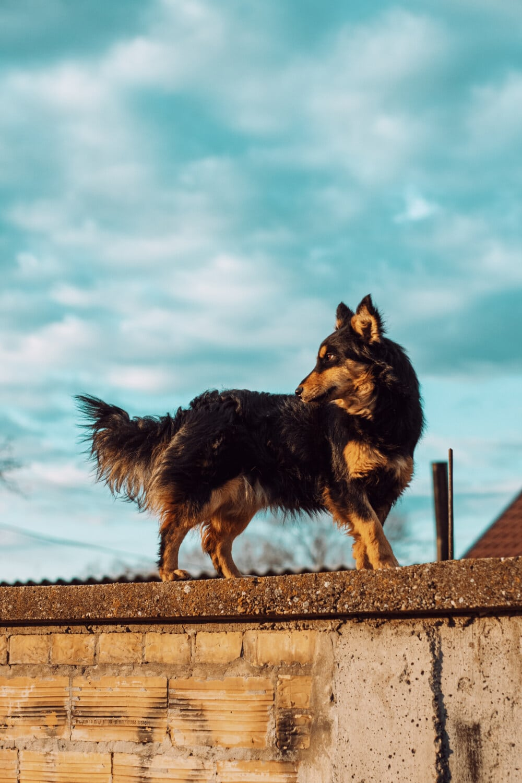 scottish sheepdog, shepherd dog, standing, wall, dog, animal, portrait, cute, outdoors, nature