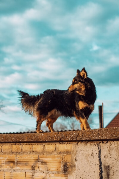 scottish sheepdog, shepherd dog, standing, wall, dog, animal, portrait, cute, outdoors, nature