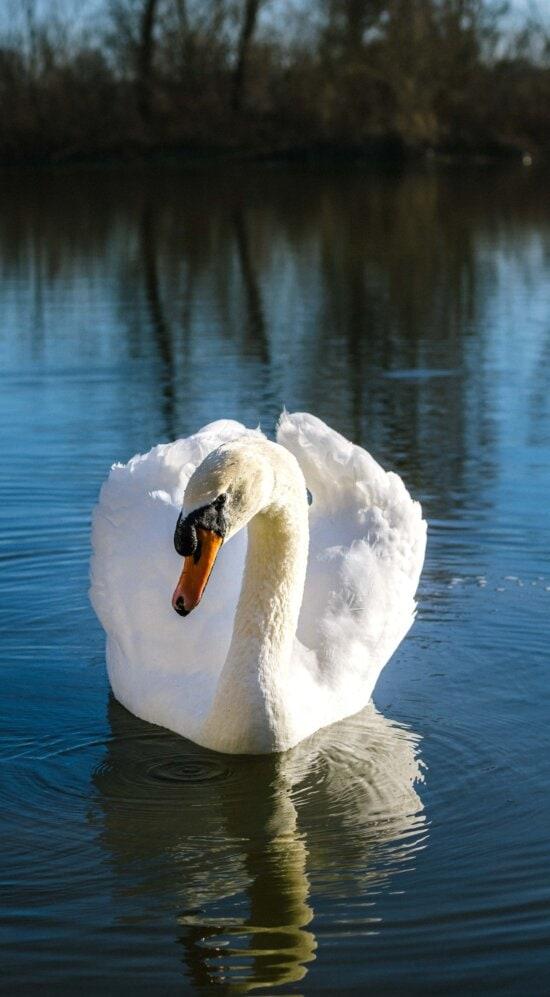 Cisne, graça, natação, tempo de primavera, perto, longo, Lago, água, ave aquática, aves aquáticas