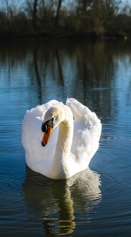 cygne, la grâce, piscine, printemps, fermer, long, Lac, eau, oiseaux aquatique, sauvagine