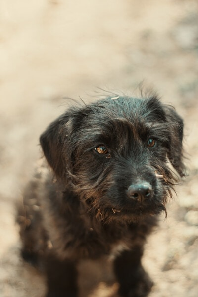 zwierzętom, pies, szczeniak, ogar, ładny, rasy, psi, portret, zwierzę, oko