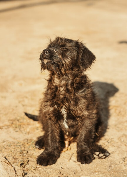 dog, schnauzer, animal, sunshine, pet, shepherd dog, cute, puppy, funny, portrait