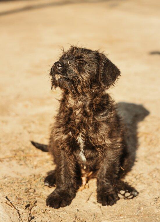 dog, schnauzer, animal, sunshine, pet, shepherd dog, cute, puppy, funny, portrait