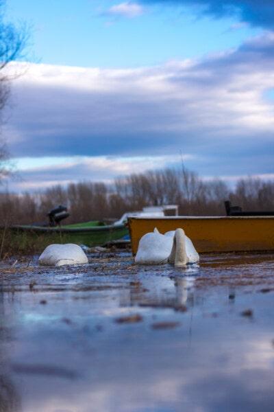 лебедь, руководитель, подводный, природа, вода, закат, рассвет, на открытом воздухе, пейзаж, озеро