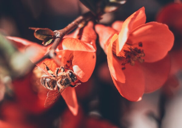 bee, honeybee, flowers, branch, red, close-up, wings, lacewing, flower, plant