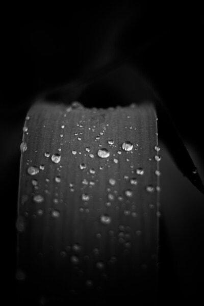 kapky vody, travní rostliny, černá a bílá, vlhkost, list, déšť, černobílý tisk, dropletu, mokrý, rosa