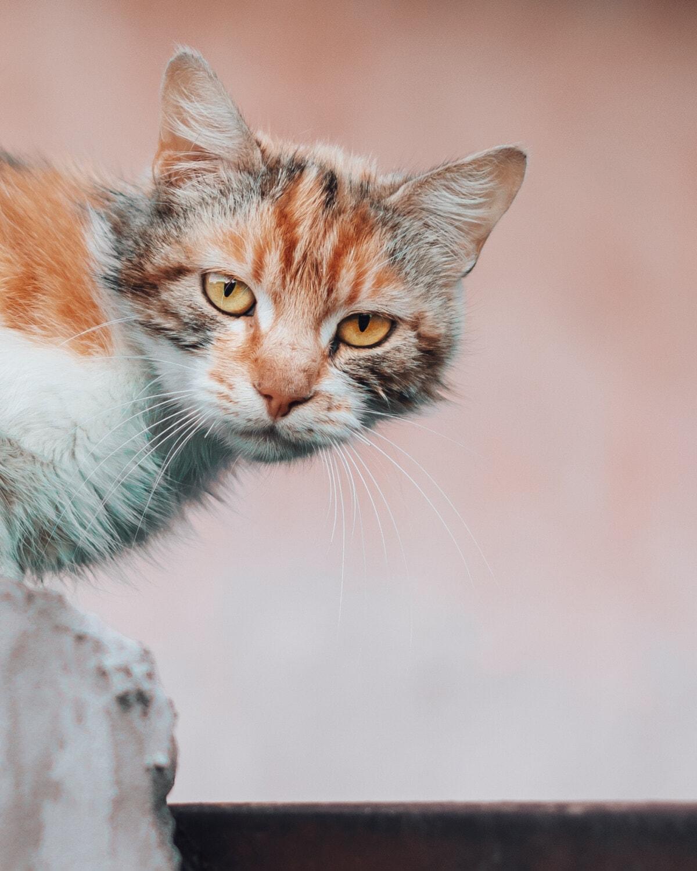 fermer, jaune orangé, chat domestique, tête, yeux, Jaune, minou, félin, fourrure, animal